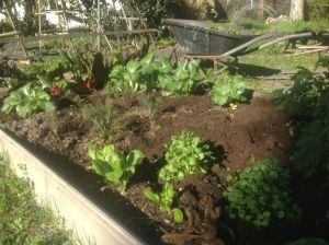 Lettuce and silverbeet