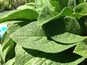 close up comfrey