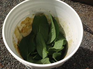 comfrey in bucket