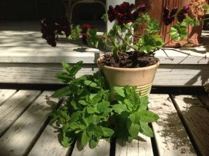 Mint and pelagonium