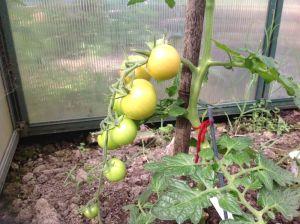 Toms ripening