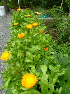 Row of Calendular